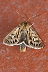 Antler Moth (Gareth Christian) Tags: antlermoth cerapteryxgraminis dolwyddelan moth wales unitedkingdom