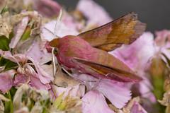 Small Elephant Hawk-moth (Gareth Christian) Tags: deilephilaporcellus dolwyddelan moth smallelephanthawkmoth wales unitedkingdom
