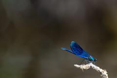 Calopteryx vierge (Glc PHOTOs) Tags: glc4534 calopteryx virgo vierge d850 nikon tamron 150600 g2