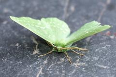 Large Emerald (Gareth Christian) Tags: dolwyddelan geometrapapilionaria largeemerald moth wales unitedkingdom