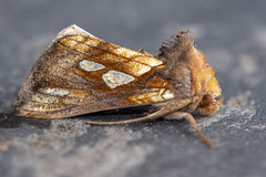 Gold Spot (Gareth Christian) Tags: dolwyddelan goldspot moth plusiafestucae wales unitedkingdom