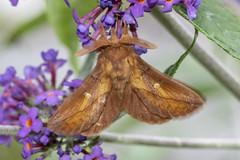 Drinker (Gareth Christian) Tags: dolwyddelan moth wales unitedkingdom