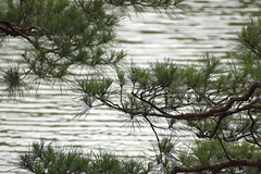 Pine needles against water waves (Abhay Parvate) Tags: water waves pine branches green nature 松 japanese garden 庭園 六義園