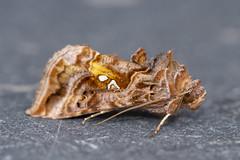 Beautiful Golden Y (Gareth Christian) Tags: autographapulchrina beautifulgoldeny dolwyddelan moth wales unitedkingdom