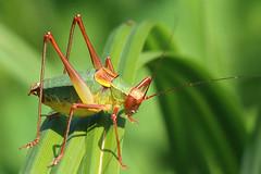 Barbitistes sp (Ettore Guarnaroli) Tags: orthoptera acrididae cavalletta grasshopper insetto phaneropteridae barbitistinae