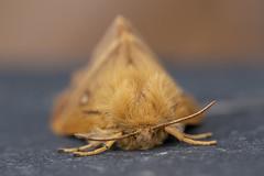 Oak Eggar (Gareth Christian) Tags: dolwyddelan lasiocampaquercus moth oakeggar wales unitedkingdom