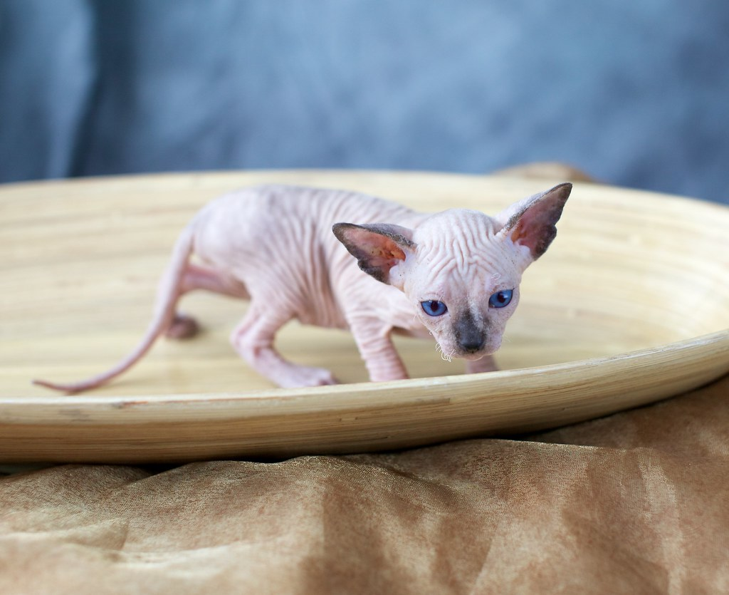 The World's most recently posted photos of kitten and sphynx