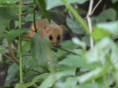 muscardin (fauconpèlerin) Tags: muscardin mammifère mammifères outside nature animaux animal brun