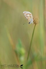 Brown argus (Matt Hazleton) Tags: nature animal canon butterfly insect eos outdoor wildlife 100mm canon100mm matthazleton 7dmk2 canoneos7dmk2 northamptonshire brownargus ariciaagestis summerleys bcnwildlifetrust matthazphoto