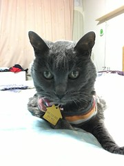 Argent in the Evening (sjrankin) Tags: 22july2019 edited animal cat argent closeup bed bedroom tunic kitahiroshima hokkaido japan