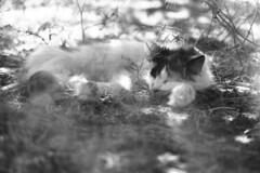 A Secluded Sleep (squirtiesdad) Tags: sophie cat sleep shadows nikon fm epson v600 monochrome blackandwhite bw bn bwfp analog analogue arista iso100 35mm film