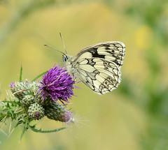 Marbled White (John_E1) Tags: marbled white butterfly melanargia galathea insect macro closeup ewt
