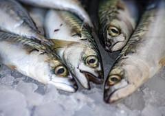 SGOMBRI APPENA PESCATI. (FRANCO600D) Tags: gonefishing hmm macromondays macro pesce fish sgombro makerelfish pesceazzurro pescheria canon eos6dmarkii 6dmarkii canoneos6dmarkii canon6dmarkii franco600d