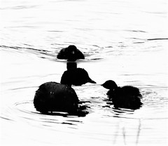 Little Grebe and Chicks - Silhouettes at Low Barns (Gilli8888) Tags: northeast nikon p900 coolpix waterbirds birds water wetlands lowbarns grebe littlegrebe silhouette silhouettephotography dabchick chicks young four
