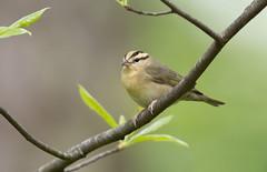 Worm-eating Warbler. Lake hope ohio. (mandokid1) Tags: canon 1dx ef600mm11 birds warblers