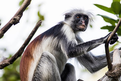 Red colobus monkey on Zanzibar (Ed Gaut) Tags: africa monkey eastafrica tanzania colobus redcolobus zanzibar jozani