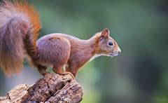 Red Squirrel (Paula Darwinkel) Tags: redsquirrel squirrel animal wildlife nature mammal cute wildlifephotography forest animals bokeh