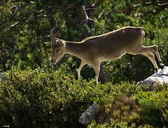 Cabra salvaje