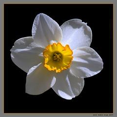 Narcissus (cienne45) Tags: carlonatale cienne45 natale genoa liguria italy flowers