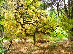 Yellow Autumn Japanese Maple (Stanley Zimny (Thank You for 43 Million views)) Tags: japanese maple tree skylands botanical garden yellow light fall autumn seasons