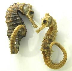 Seahorses (simonpfotos) Tags: macromondays gonefishing