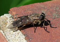 Horse Fly, Tabanus limbatinevris, female, Washington Crossing (Seth Ausubel) Tags: tabanidae tabaninae diptera