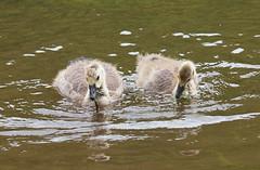 2019_06_0113 (petermit2) Tags: canadagoslings canadagosling canadageese canadagoose geese goose goslings gosling riverwye wye littonmill litton millersdale peakdistrict derbyshire