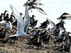 comm Tern & Dunlin 21.7.19 (ericy202) Tags: common tern takeoff island dunlin snettisham rspb