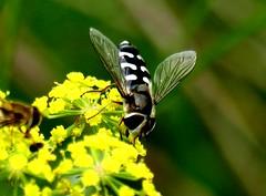 Scaeva pyrastri 26.6.19 (ericy202) Tags: scaeva pyrastri hoverfly wild parsnip holme nwt nnr
