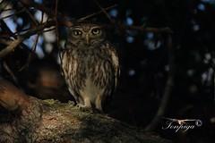 civetta (Tonpiga) Tags: tonpiga uccelliinlibertà faunaselvatica predatore rapace civetta athenenoctua bird fotoinnatura