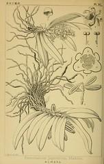 n215_w1150 (BioDivLibrary) Tags: japan pictorialworks plants pteridophyta spermatophyta newyorkbotanicalgardenluesthertmertzlibrary bhl:page=36318735 dc:identifier=httpsbiodiversitylibraryorgpage36318735 orchidaceae gastrochilus