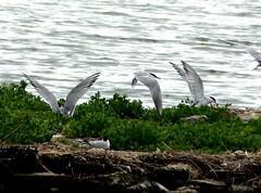 common Terns 19.7.19 (ericy202) Tags: common terns flight island snettisham rspb