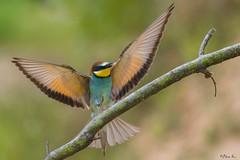 Żołna/Bee Eater (mirosławkról) Tags: animal bird nature nikonnaturephotography 150600 poland wild wildlife green merops apiaster żołna bee eater