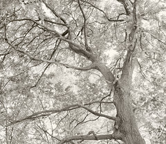 Acontius Project: castaneasque nuces, mea quas Amaryllis amabat º (CactusD) Tags: chamonix 810v 8x10 10x8 largeformat large format film greatbritain great britain uk unitedkingdom gb england warwickshire whichford whichfordwood woodland sweetchestnut trees tree ilford fp4plus blackandwhite monochrome bw black white blackwhite nikkorw300mmf56 nikkor 300mm f56 epson v850 silverfast pyrocathd btzs texture landscape virgil eclogues pastoral eclogue2