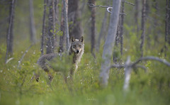 Eyes Of The Wolf (Jyrki Liikanen) Tags: wolf wildlife wildlifephotography youngwolf kuhmo finland wilderness wildnature wildanimal naturephotography naturephoto nature inthewoods jyrkiliikanenphotography nikon nikonphotography
