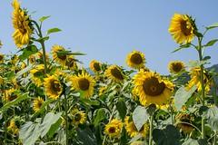 J'veux du soleil ! (PierreG_09) Tags: ariège pyrénées pirineos couserans occitanie midipyrénées jardin flor flore fleur plante tournesol soleil