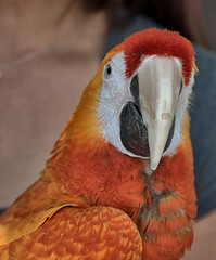 Macaw (Scott 97006) Tags: psittacidae macaw parrot bird beak colorful cute animal feathers