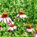 Invasion of Painted Lady butterflies, Wayne