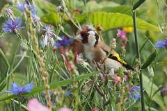 2269_goldfinch_carduelis carduelis (alfred.reinartz) Tags: bird vogel singvogel distelfink goldfinch