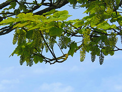 Mystery tree @ St. Andrews (1 of 2) (jimsawthat) Tags: mystery tree unknown uk unitedkingdom scotland smalltown standrews