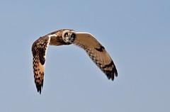 Asio flammeus (chavko) Tags: shorteared owl asio flammeus jozefchavko slovakia predators flickr myšiarka močiarna