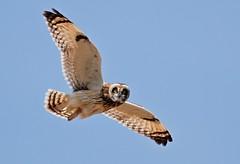 AL6I4305 (chavko) Tags: shorteared owl asio flammeus jozefchavko slovakia predators flickr myšiarka močiarna