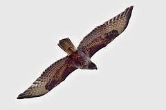 AL6I4649 (chavko) Tags: predatory common buzzard buteo slovakia predator hawk wildlife bird jozefchavko