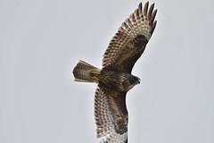 AL6I4642 (chavko) Tags: predatory common buzzard buteo slovakia predator hawk wildlife bird jozefchavko