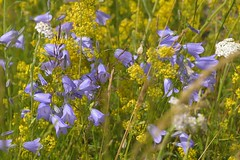 Blue+Yellow (Tony Tooth) Tags: nikon d7100 sigma 70mm flowers wildflowers harebells ladysbedstraw blue yellow blueandyellow beestontor wetton staffs staffordshire