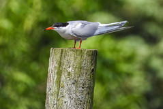 Common Tern (Pendlelives) Tags: common tern upper foulridge reservoir lake water red beak legs small nature wildlife countryside bird birds ornithology pendle pendlelives nikon p1000 clairty vibrant vibrance colne nelson background animals colours colour color feathers uk british species