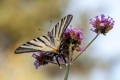 Papillon (clamar18) Tags: butterffly flower insecte flambé nature jardin papillon verveine violet