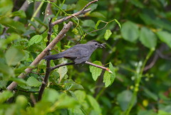 Gray Catbird with Lunch (Neal D) Tags: bird catbird dumetellacarolinensis graycatbird