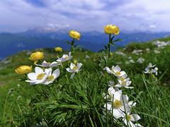 Bergsommer (memories-in-motion) Tags: italy alpen alps matajur friaul mountain blue green yellow white flowers gfx50r tse24mmf35lii canon tilt shift tecart 24mm macro landscape nature monte