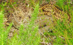 Grass Snake (Natrix helvetica) & Adder (Vipera berus) (Nick Dobbs) Tags: grass snake natrix helvetica adder vipera berus reptile heath heathland dorset communal basking